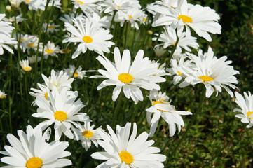 Leucanthemum maximum or max chrysanthemum or shasta daisy or camomile white flowers