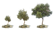 Three Olive Trees Growing From Pile Of Coins