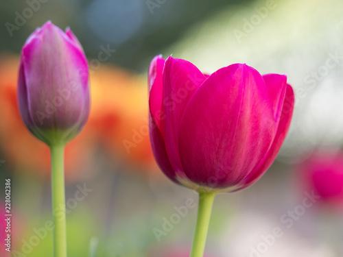 Poster Fleuriste Close up of tulip