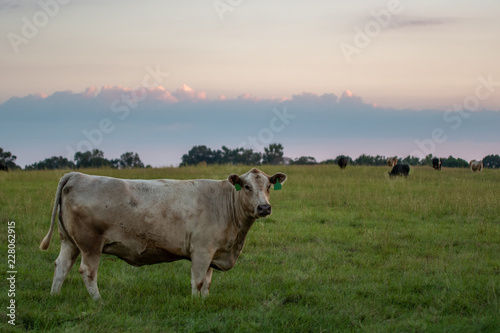 Valokuva  Beef herd in pasture at dusk