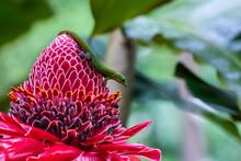 Gold Dust Day Gecko (phelsuma Laticauda) On Vivid Red Torch Ginger Blossom (etlingera Elatior), In Hawaiian Big Island's Akaka Falls State Park.