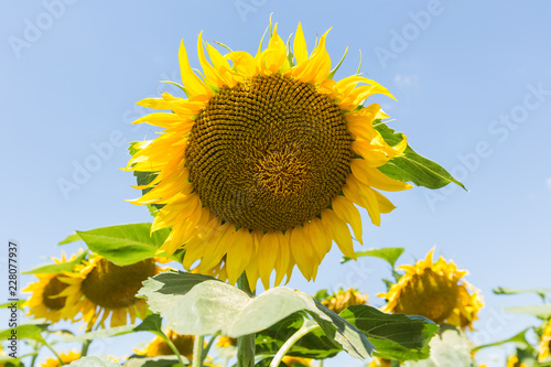 Sunflower natural background.