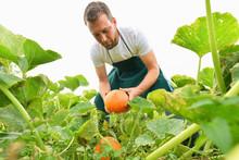 Bauer Bei Der Ernte Von Kürbissen In Der Landwirtschaft // Farmer Harvesting Pumpkins In Agriculture