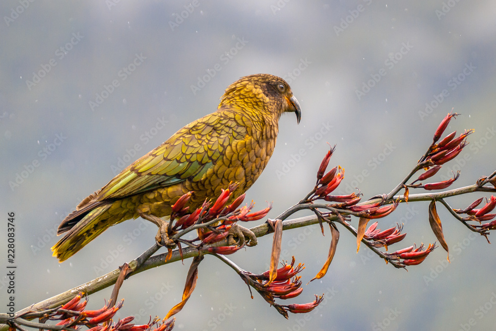 Kea parrot on new zealand flax
