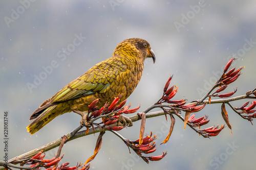 Kea parrot on new zealand flax