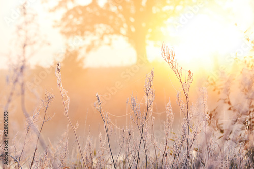 Fotobehang Natuur Gentle frosty autumn morning. Grass in a hoarfrost openwork, a mighty oak tree in the sunlight in the background. Fight heat and cold.