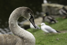 Grey Swan With A Long Curled Neck And Fluffy Plumage.