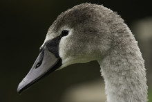 Side View Close-up Of A Young Grey Swan With Black And Grey Fluffy Plumage.
