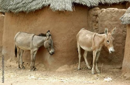Deux ânes cherchent l'ombre le long d'un mur en terre, Burkina Faso, Afrique Canvas Print