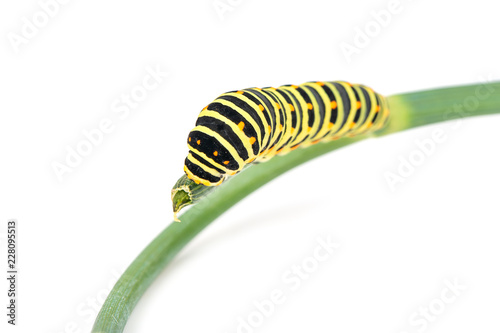 Swallowtail caterpillar on branch