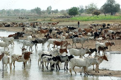 Fotografía  Troupeau de zébus au bord du fleuve, Burkina Faso, Afrique