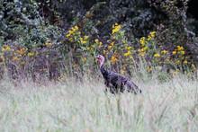 Wild Tom Turkey