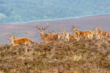 Red Deer Stag With Herd Of Doe's During The Autumnal Rut, Exmoor National Park, UK