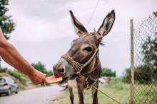 Donkey Eating Watermellon.