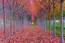 A Red Tree Tunnel In Autumn  -...