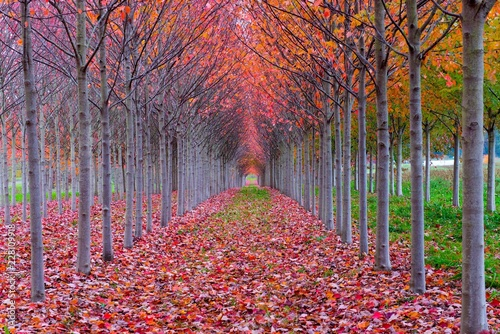 Keuken foto achterwand Rood traf. A red tree tunnel in autumn - fallen leaves frame the tunnel