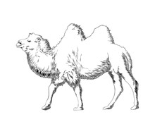 Vector Engraved Style Illustration For Posters, Decoration And Print. Hand Drawn Sketch Of Camel In Black Isolated On White Background. Detailed Vintage Etching Style Drawing.