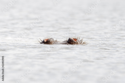 Hippo (Hippopotamus amphibius) breathing with only nose out of water from a pool, Kruger national park, South Africa.
