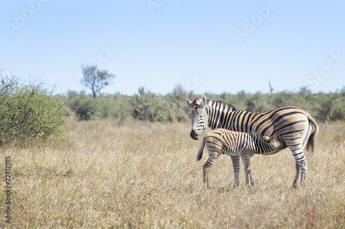 Plains zebra (Equus quagga) foal drinking from mother on savanna, Kruger National Park, South Africa