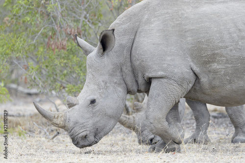 White rhinoceros (Ceratotherium simun), eating, Kruger National Park, South Africa