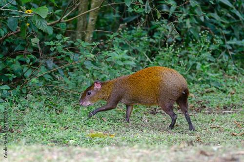Photo Central American agouti (Dasyprocta punctata) in Monteverde, Costa Rica