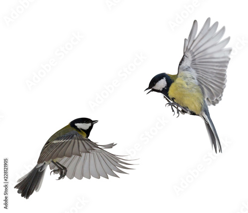two great tits in flight isolated on white