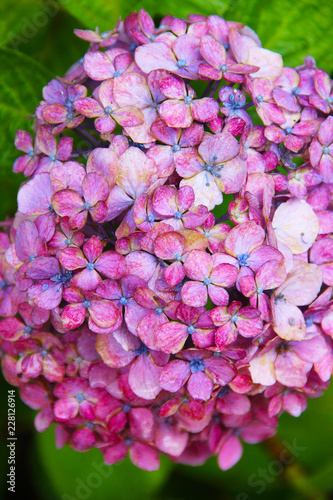 Pink hydrangea with a blue heart: delicate petals in green leaves, bud consists of small inflorescences. Beautiful fragrant flower.