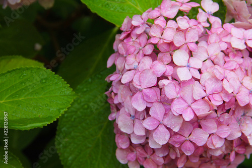 Tuinposter Hydrangea Pink hydrangea with a blue heart: delicate petals in green leaves, bud consists of small inflorescences. Beautiful fragrant flower.