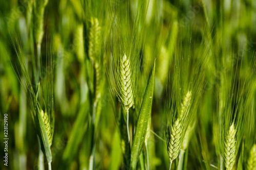 Fotografie, Obraz  Spighe di grano verde