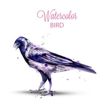 Crow With A Nut Watercolor Vec...