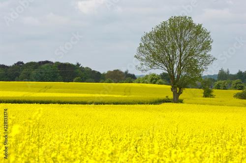Papiers peints Jaune Belgique Wallonie chimay champs colza paysage
