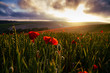 poppy field of poppies