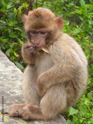 Foto op Plexiglas Aap Petit singe à Gibraltar