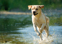 Running Labrador Retriever On ...