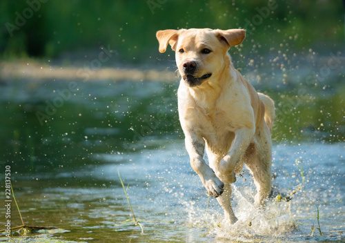 Running Labrador Retriever on river Poster Mural XXL