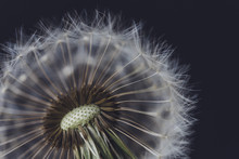 Extreme Close-up Of Dandelion ...