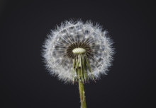 Close-up Of Dandelion Seed Ove...