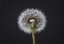 Close-up Of Dandelion Seed Over Black Background
