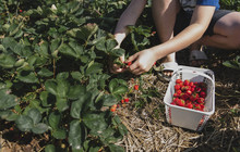 Low Section Of Boy Picking Strawberries From Plants On Field