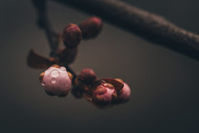 Close-up Of Wet Buds Growing On Twig