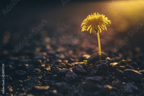 Close-up of yellow flower growing on field during sunset