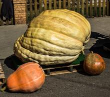 Giant Halloween Pumpkins
