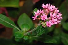 Egyptian Starcluster Pink Flower