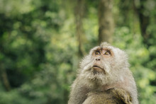Portrait Of Macaque In Forest,...