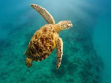 Sea Turtle Swimming Undersea, ...