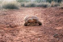Sonoran Desert Tortoise (Gopherus Morafkai) On The Trail. Snow Canyon State Park, Utah, US. Threatened Vulnerable Species   In  Nature Red List.