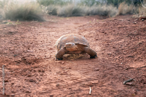 Sonoran Desert Tortoise (Gopherus morafkai) on the trail. Snow Canyon State Park, Utah, US. Threatened vulnerable species   in  Nature Red List.