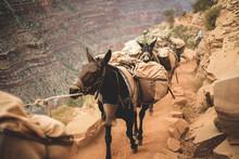 Donkeys On Path At Grand Canyo...