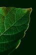 Macro view of leaf texture