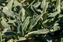 Lamb's-ear Plant (Stachys Lanata)